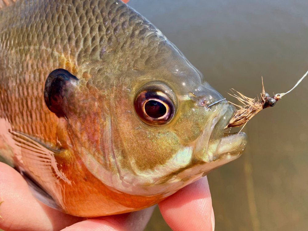 During a recent outing a surprising number of fish took the larger pattern. That is usually not the case.