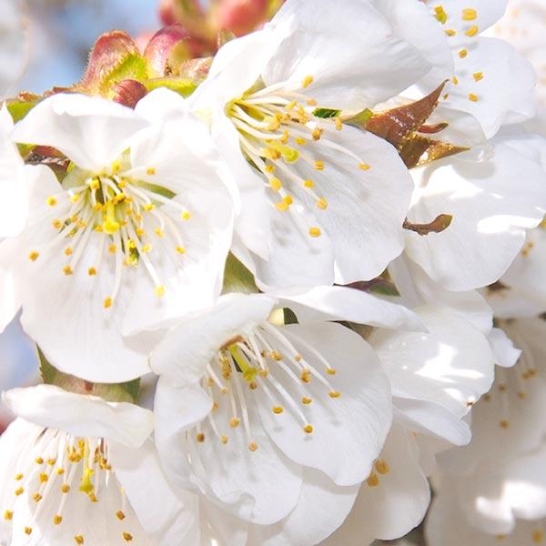 INSPIRACIÓN FLORAL - El cerezo forma parte del paisaje provenzal. Está muy extendido en la región de Apt, en Luberon, y cambia de color con las estaciones, convirtiéndola en una fuente de inspiración para los artistas: blanco puro en primavera, rojo brillante en verano, verde suave en otoño.