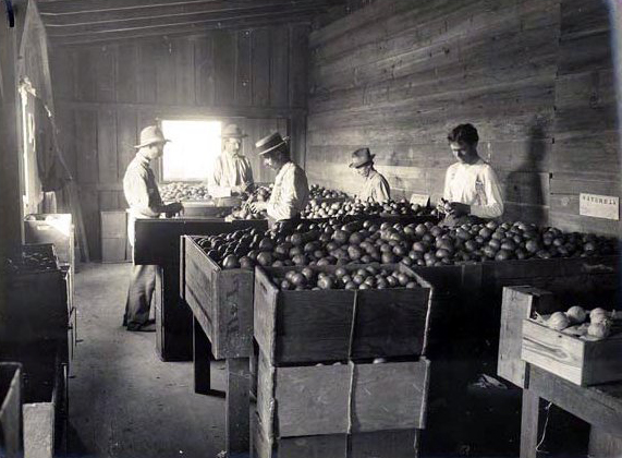 Citrus sorting in 1910