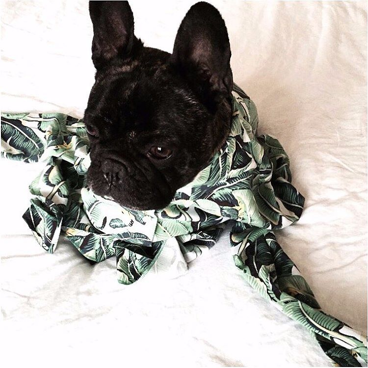✌️out Sunday! Bed ready in @masiniandchern Shop them in-store and online now. #bed #frenchbulldog #sunday #bananaleaf