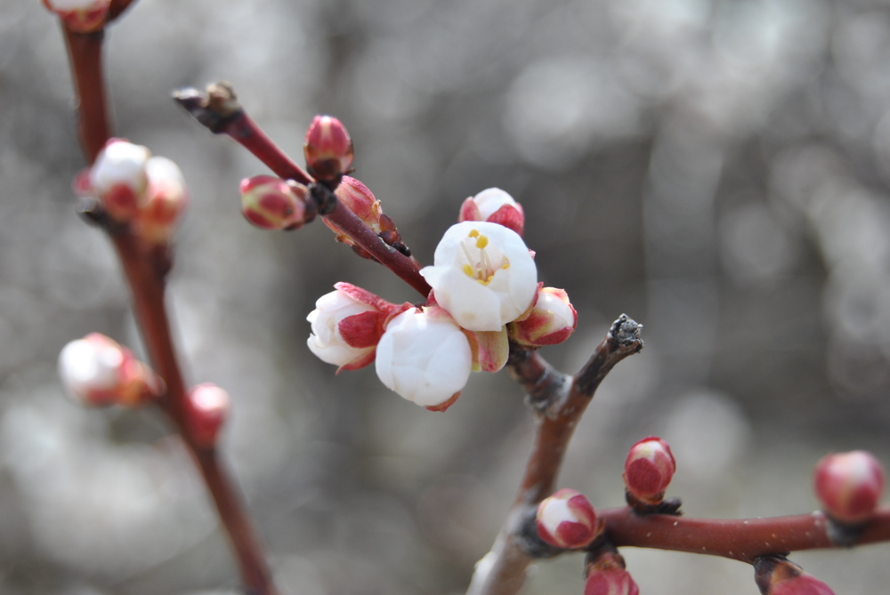 Apricot blossoms on the Rio Grande Trail about to burst open!