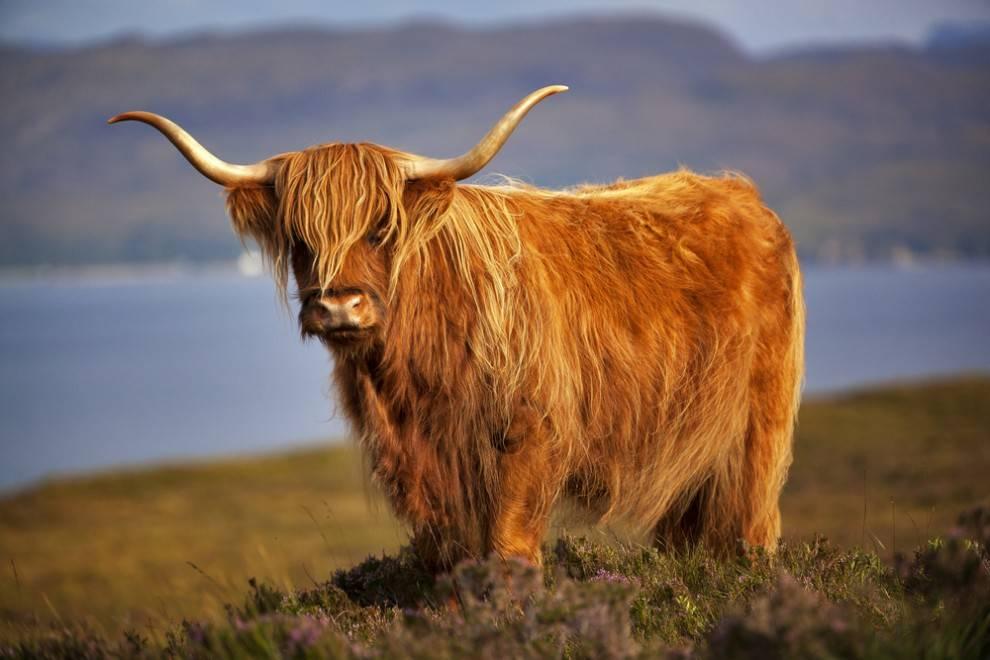 "Highland ""coo"""