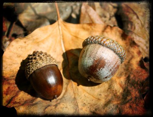 Luscious acorns — sweet peach