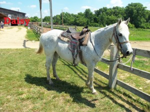 Daisy – Line Horse – Mare – Quarter Horse – Born 2000     I am a very good horse to my rider. I am very easy to control and I really know how to do my job. I like to be at the back of the ride to keep everyone together. I feel my job is just as important as the leader's.