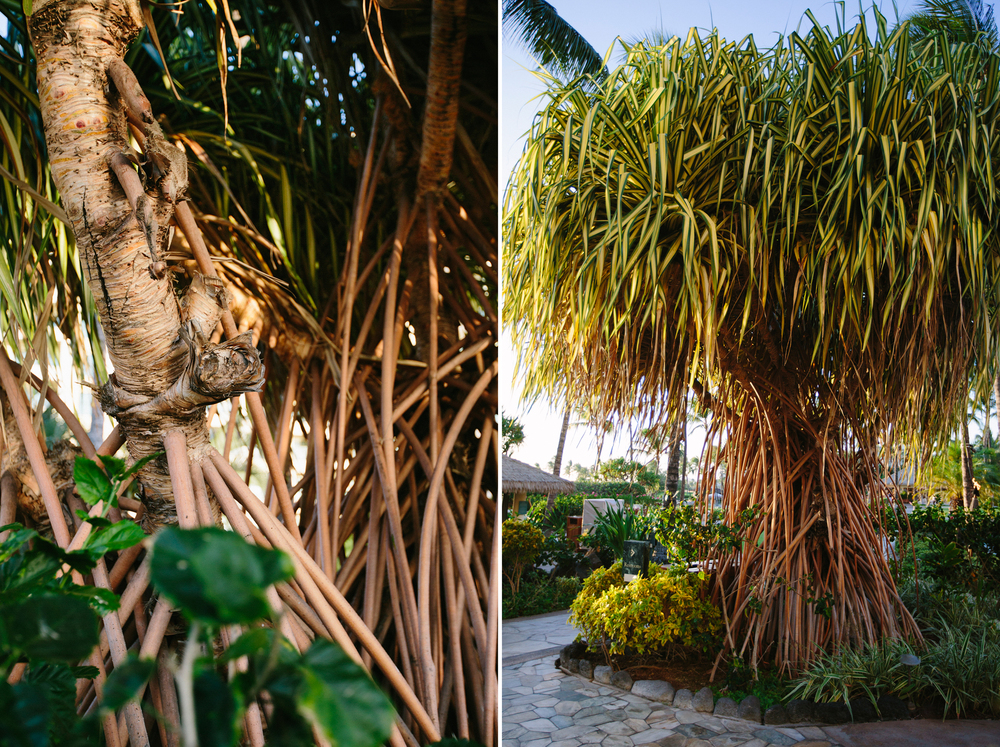 Pandanus tectorius!  The name sounds like 'panda anus,' but it's actually a pretty cool tree.  Click the photo to read more about it.