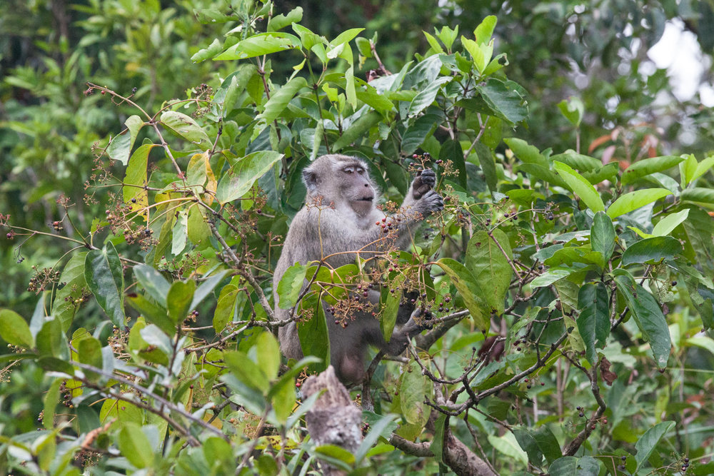 A long-tailed macaque ate breakfast near where the boat docked for the night.