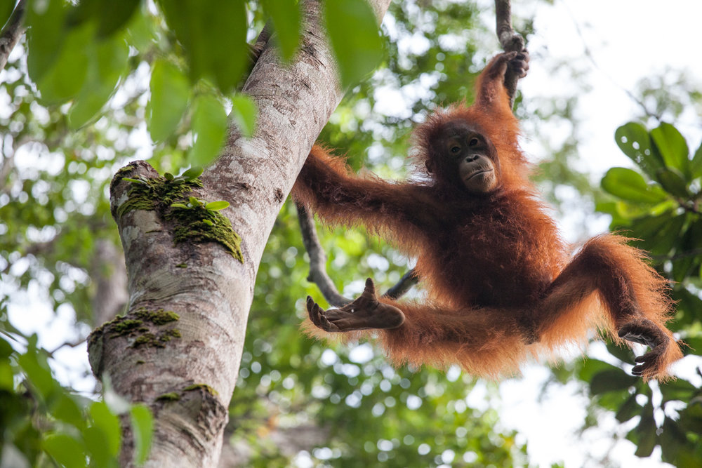 A young orangutan