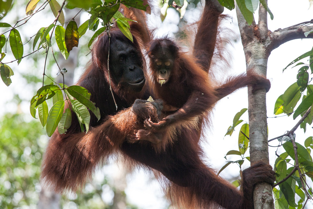 This mother orangutan fed her baby a banana from a feeding station at Camp Leakey. The feeding stations are set up for the benefit of human visitors. Bananas are a treat that do not naturally grow in Tanjung Puting National Park.