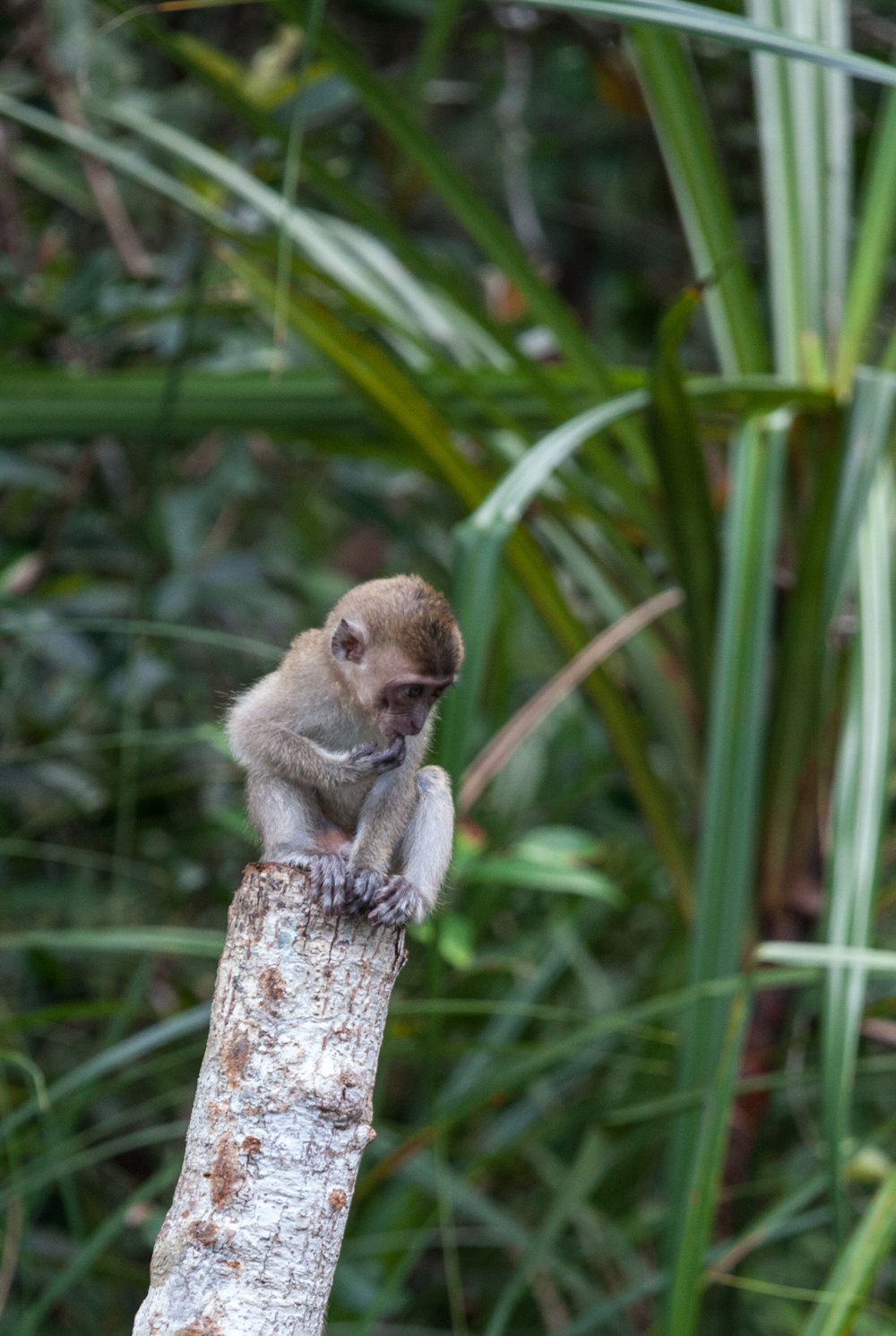 This young macaque hung out with its family near the dock at Camp Leakey