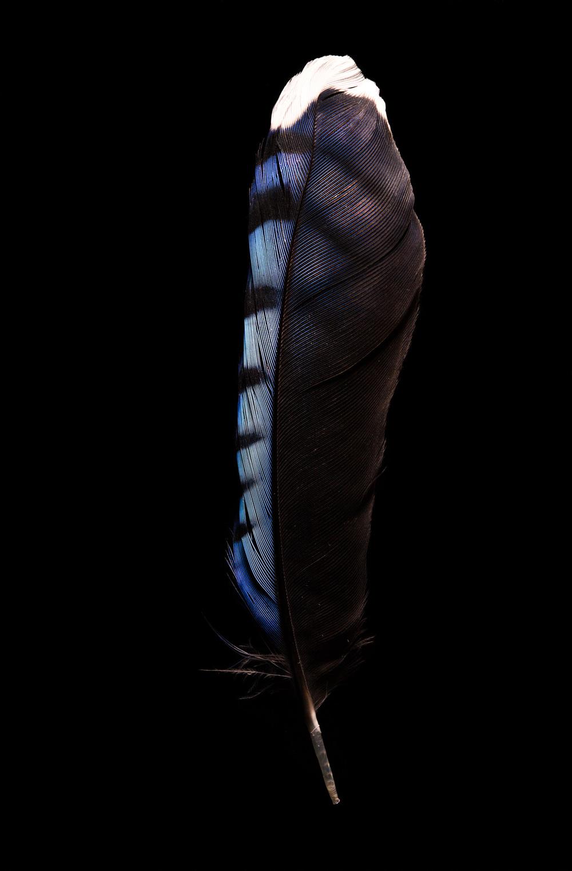BlueJayFeather2.jpg