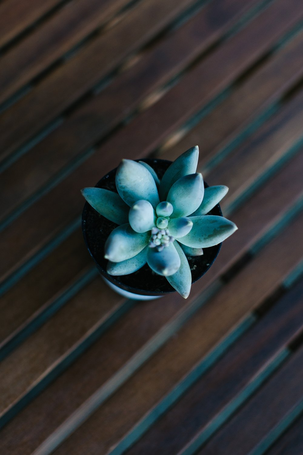 Pachyphytum bracteosum with plump blue succulent leaves.