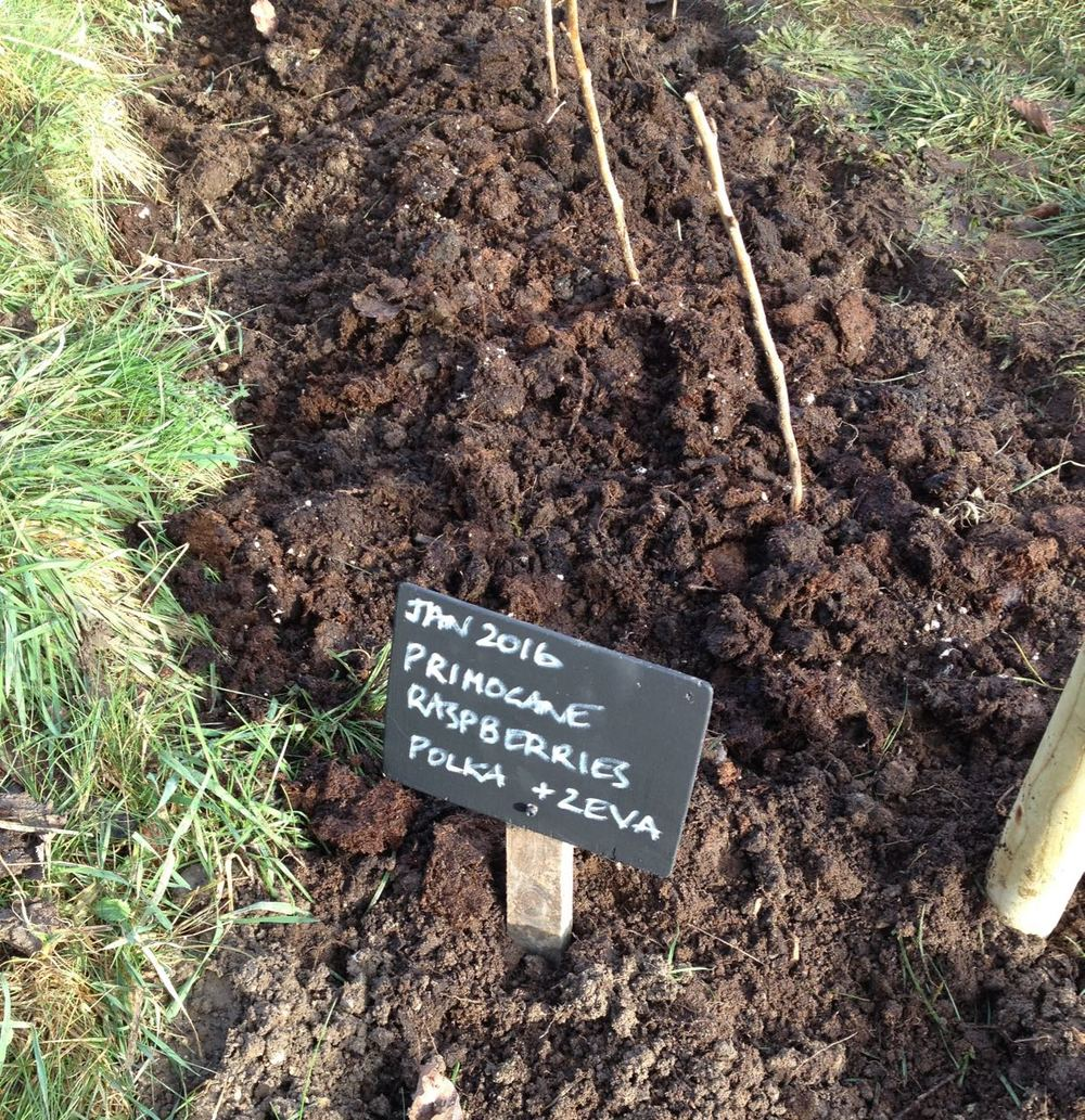 January 2016. Newly planted primocane raspberries - looking a bit wonky in this photo...