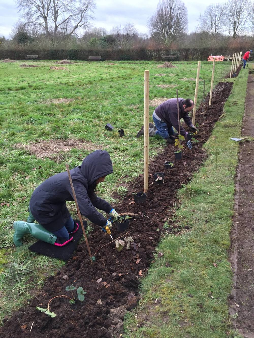 25 January 2016: underplanting with donated strawberry plants.