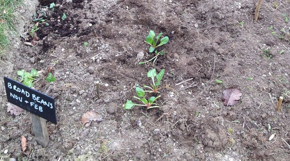 Tiny little chard plants between the recently planted broad beans