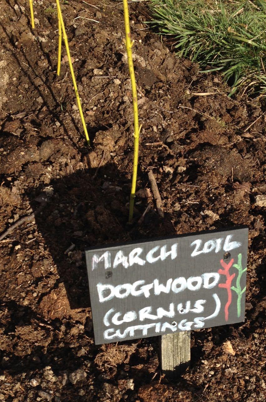 Dogwood cuttings - we didn't have purple or orange pens...