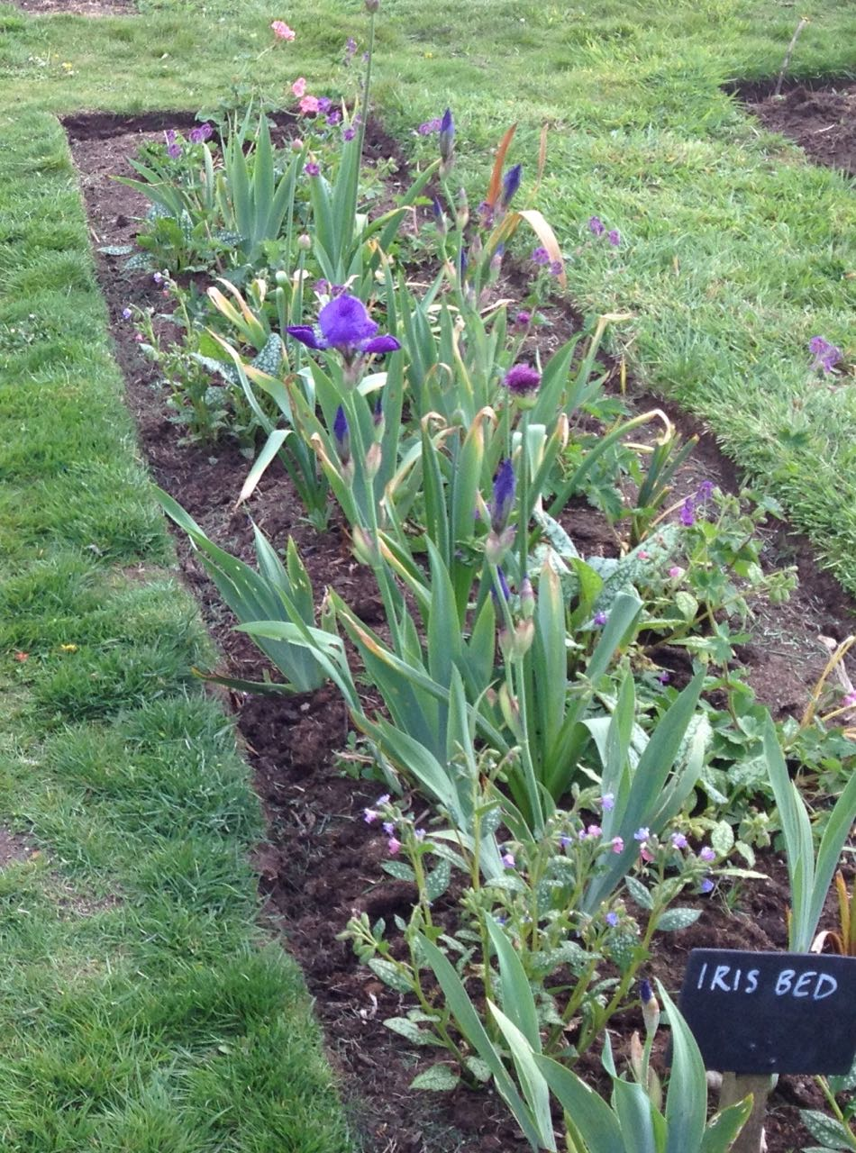 We have irises in the Iris bed and alliums starting