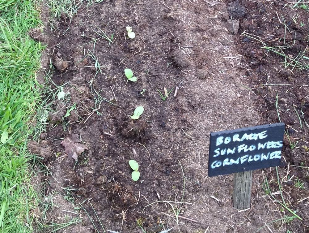 Some dwarf sunflowers germinating in a narrow bed - planted close because we assume we will lose some to slugs - unless the visiting hedgehogs get them first