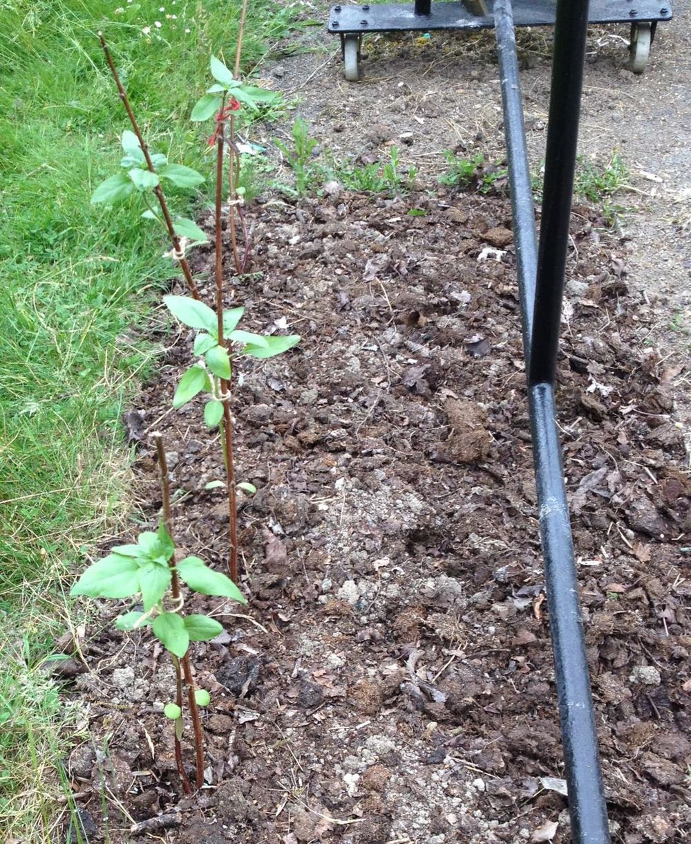 The sunflowers (seeds from a local allotment) should reach abut 6ft and be multi-stemmed and red. We are waiting to get a longer piece of chain so we can attach them to bamboo canes up the chained hatracks.
