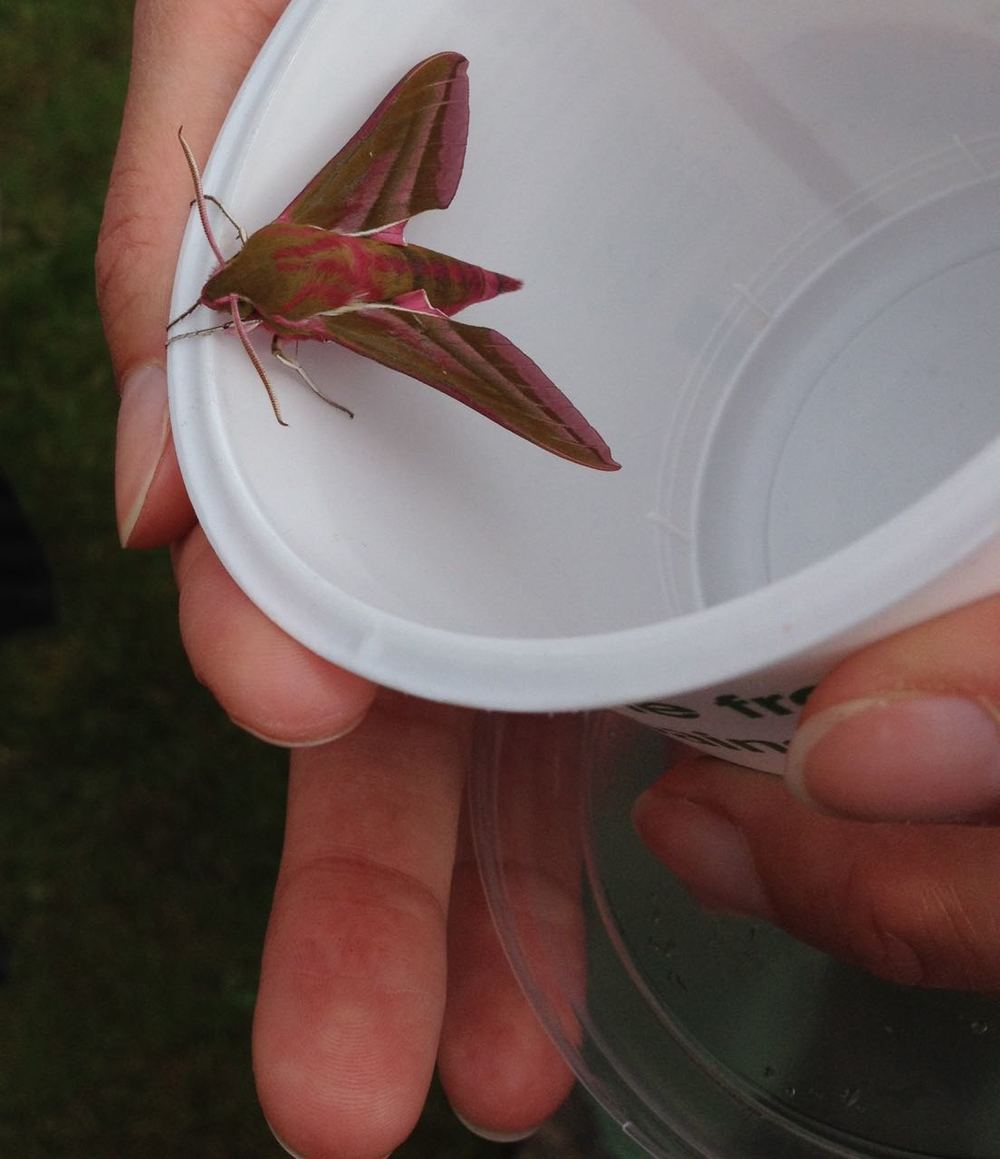 Elephant moth 'making a break for freedom' - all the moths were released as soon as they were recorded and had warmed up a bit.