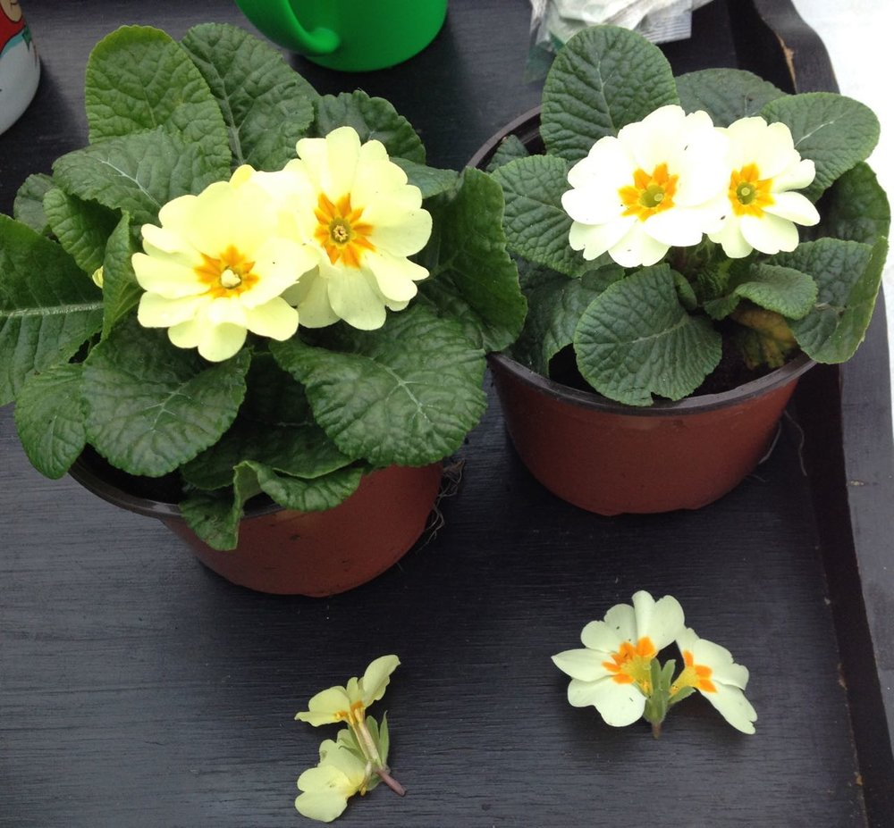 Primroses on their way to the new raised beds, showing the two types: pin-eyed stigma (above the pollen-bearing anthers) and thrum-eyed (stigma enclosed by anthers)