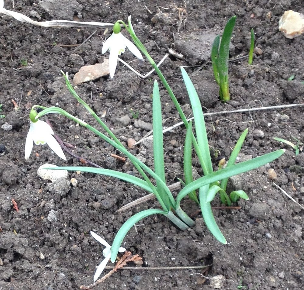 One of the single snowdrops - a pollen supply.