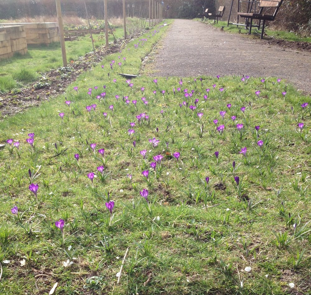 Lots of crocuses - the squirrels have been enjoying some of these too!