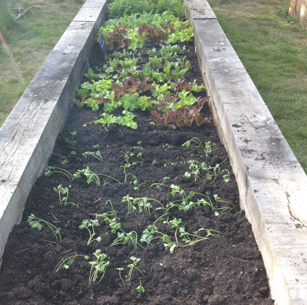 Some rather floppy thinned parsley plants in our salad row - when they perk up, we will probably move them on again.