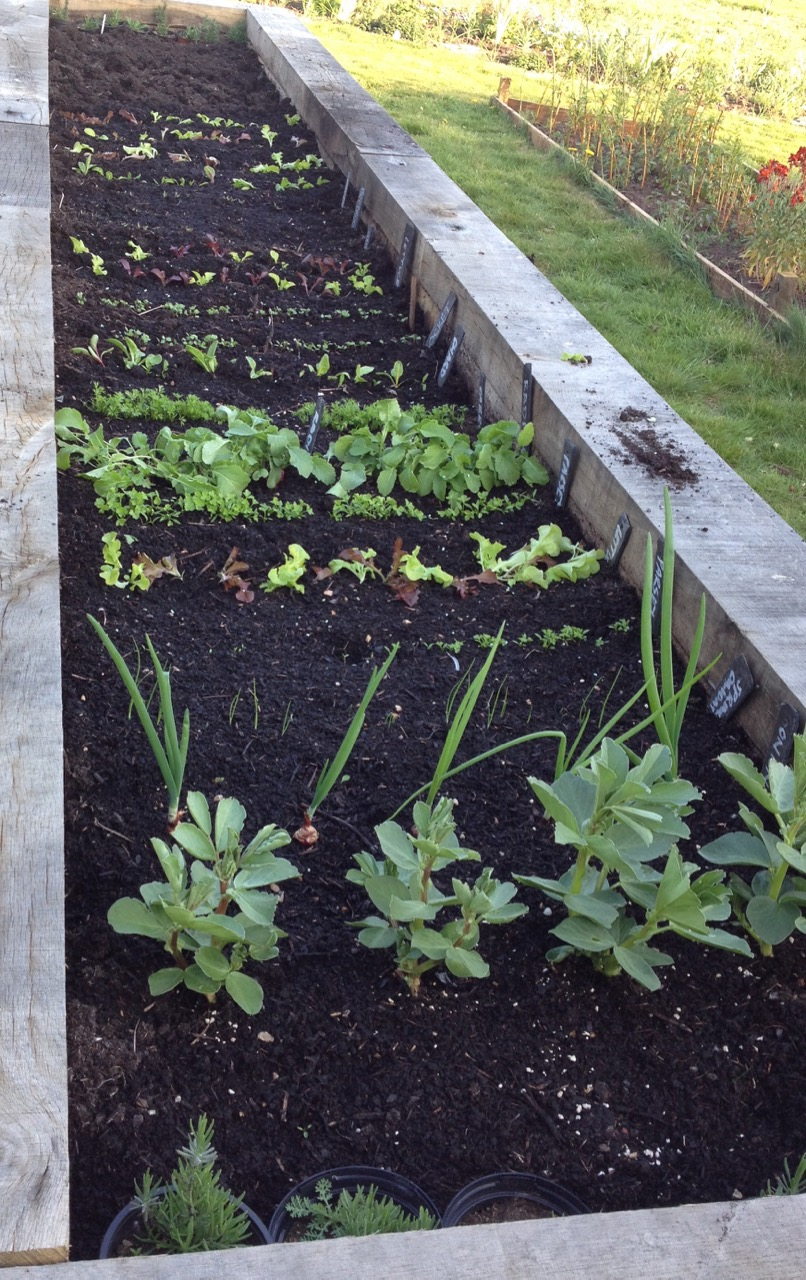 April 2017: first salad crops starting in the raised bed - we are also growing on some lavenders to plant out when they are a bit larger.