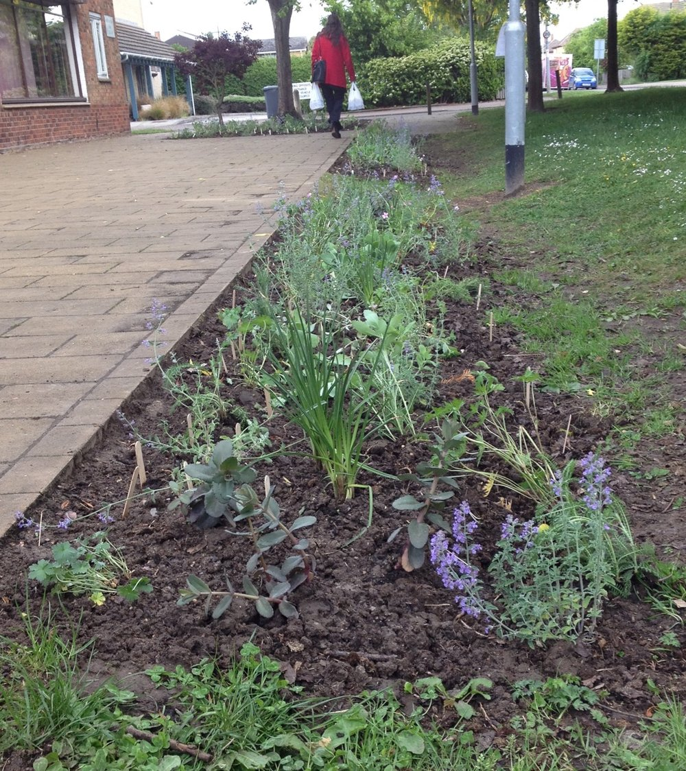 20 May: the planted beds - after the hard work of Queen Edith in Bloom volunteers, Alison from the RHS and the 28th Cambridge cubs. We have several different kinds of achillea, geraniums, kniphofia (red hot pokers), nepeta (catmint), sedums (iceplants) in the swale beds. Similar ones in the front half of the shrub bed - plus herbs and some extra herbaceous plants. In all three beds we have some extra seeds of calendula (marigolds),  Cerinthe major purpurescens  and dwarf sunflowers - were marked with lolly sticks so we didn't dig them up by mistake. All chosen to be tolerant of dry (and wet) weather and great for pollinators.