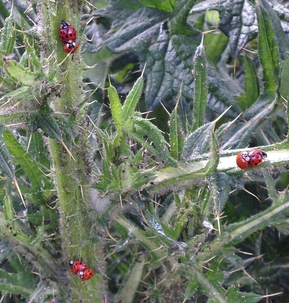 23 May 2017: there is a big thistle in the wild area, covered in mating ladybirds of all kinds and also the odd pair of shield bugs (but they were out of focus).
