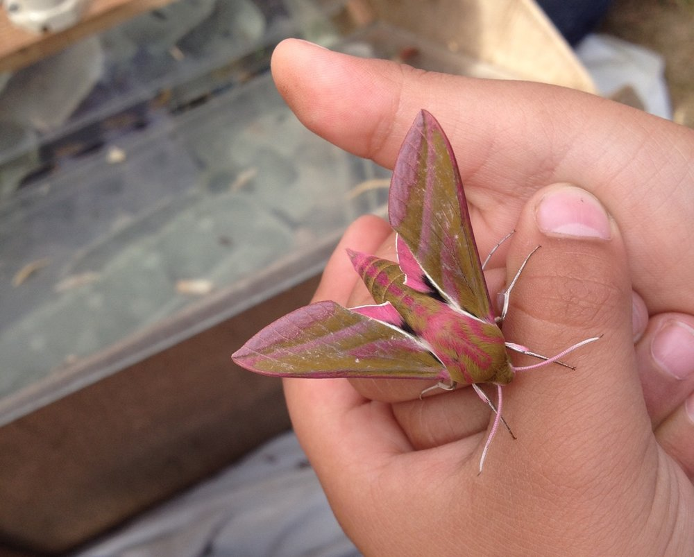 Lesser elephant hawkmoth - the third year we have recorded this species - and always popular.