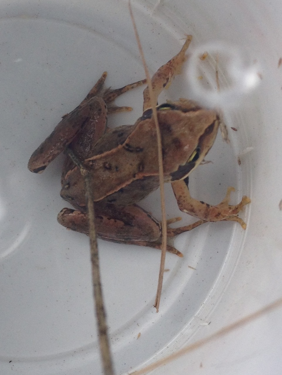 Families like hunting for creatures in the garden - this was one of the best catches so far - a common frog - probably three or four years old - in the long grass.