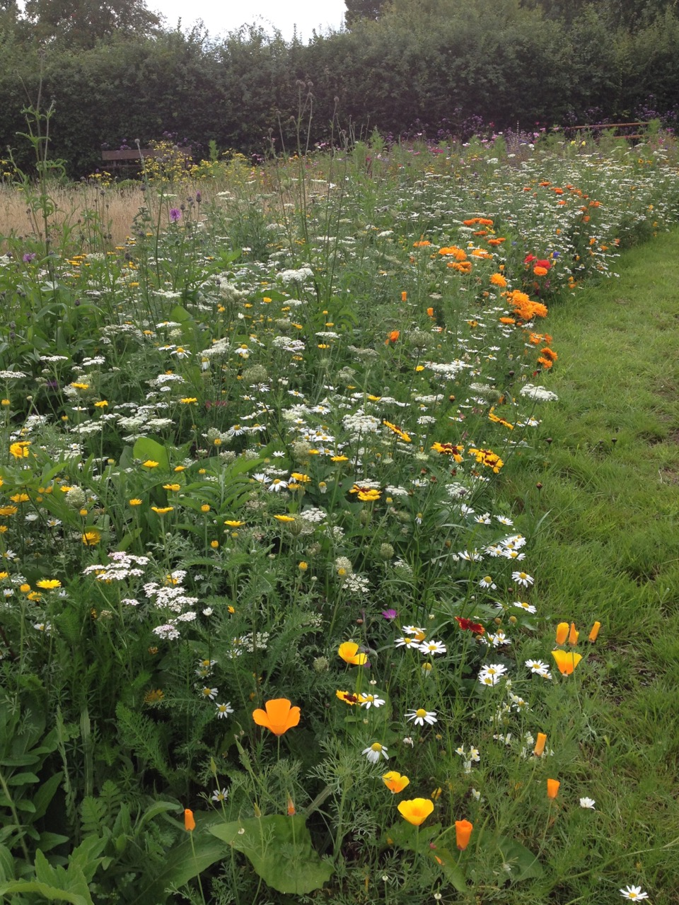 The Golden Summer perennial Pictorial Meadow bed is looking very lush and flowery now. We are supposed to crop it down to 10 cm again but it seems very cruel so we will wait until after our party on 27 August I think.