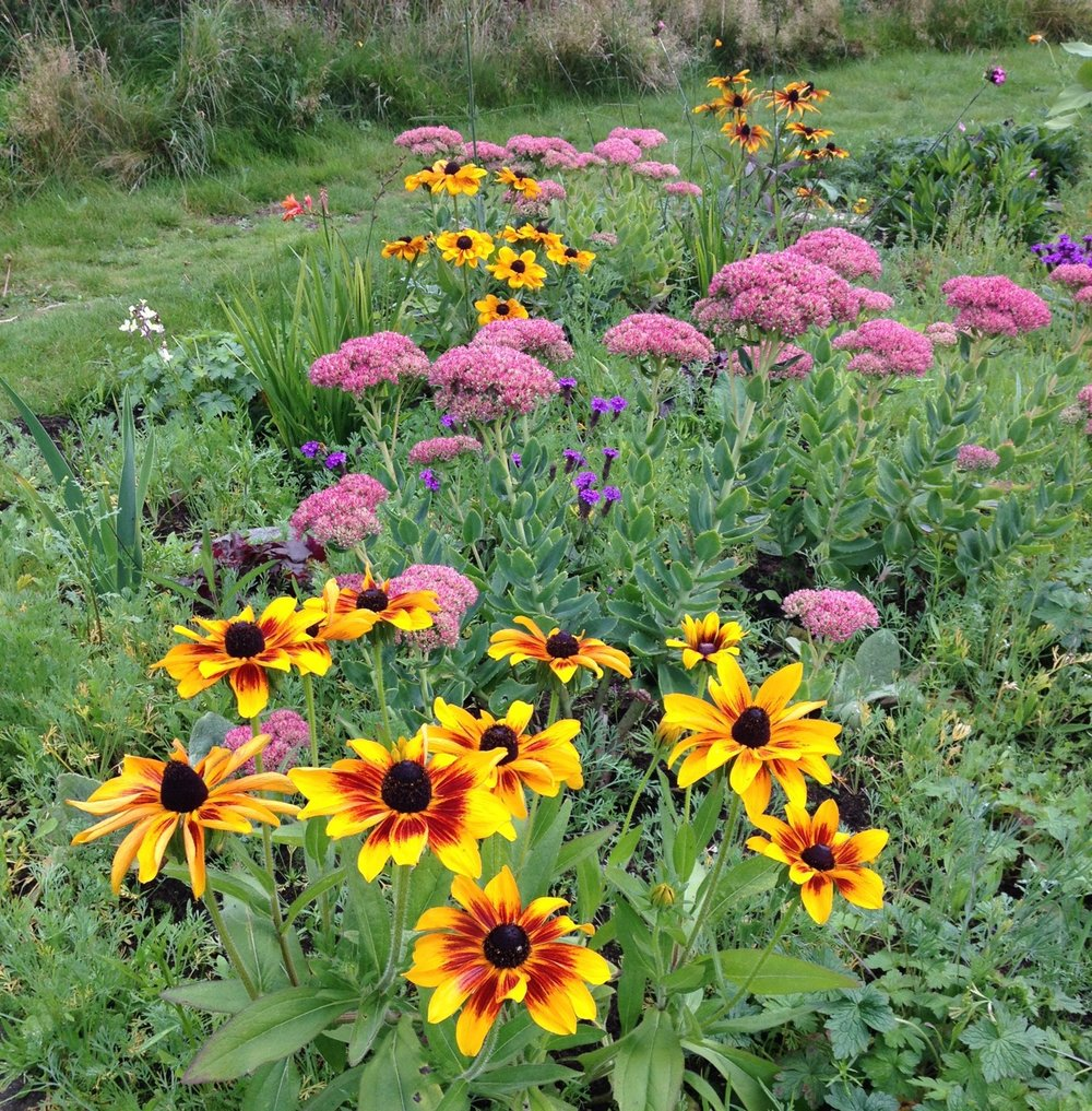 The pleasing combination of crocosmia, dianthus, gaura, geraniums, rudbeckias, sedums (although their name has changed recently) and verbena rigida is one reason why we are converting some of the annual beds to perennial plants. Although the seedbank of annuals is a bit overpowering at times - see the Californian poppy crop between plants - as fast as we weed them out they grow back.