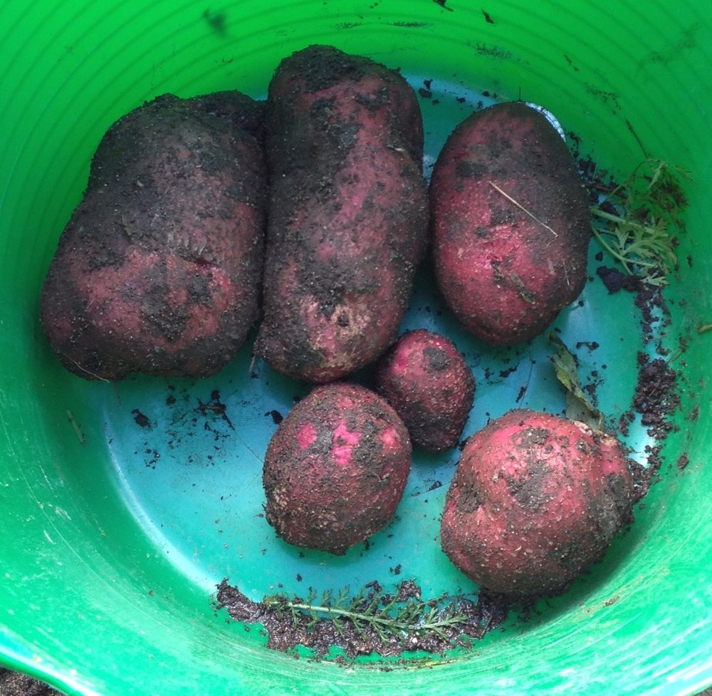 We finally harvested our 'massive crop' of (big) potatoes from the pallet planters - only from one plant. They are 'surprise potatoes' - we still don't really know what the seeds were - maybe Duke of York. Next year, we will try some first and second earlies - probably Arran Pilot and Charlotte.