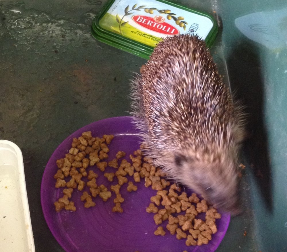 One of our unplanned activities - rescuing thin hedgehogs. She is being cared for by Shepreth hedgehog hospital volunteers now. 28 October update: she is recovering in the hospital from just about every kind of parasitic infection going (  about the hospital, including how to support them  ).