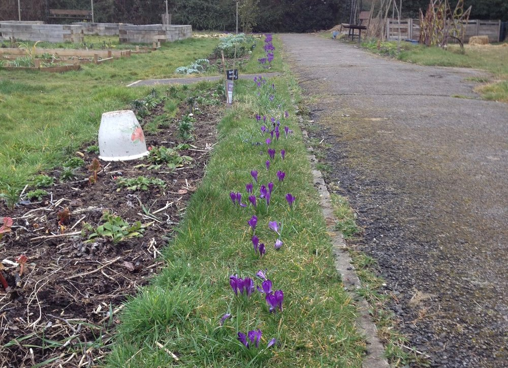 The Purple for Polio crocuses are also back - we haven't counted them to see if there are more or less than the 5,000 planted in November 2016. Apparently the ones planted in Queens Green are very good too.