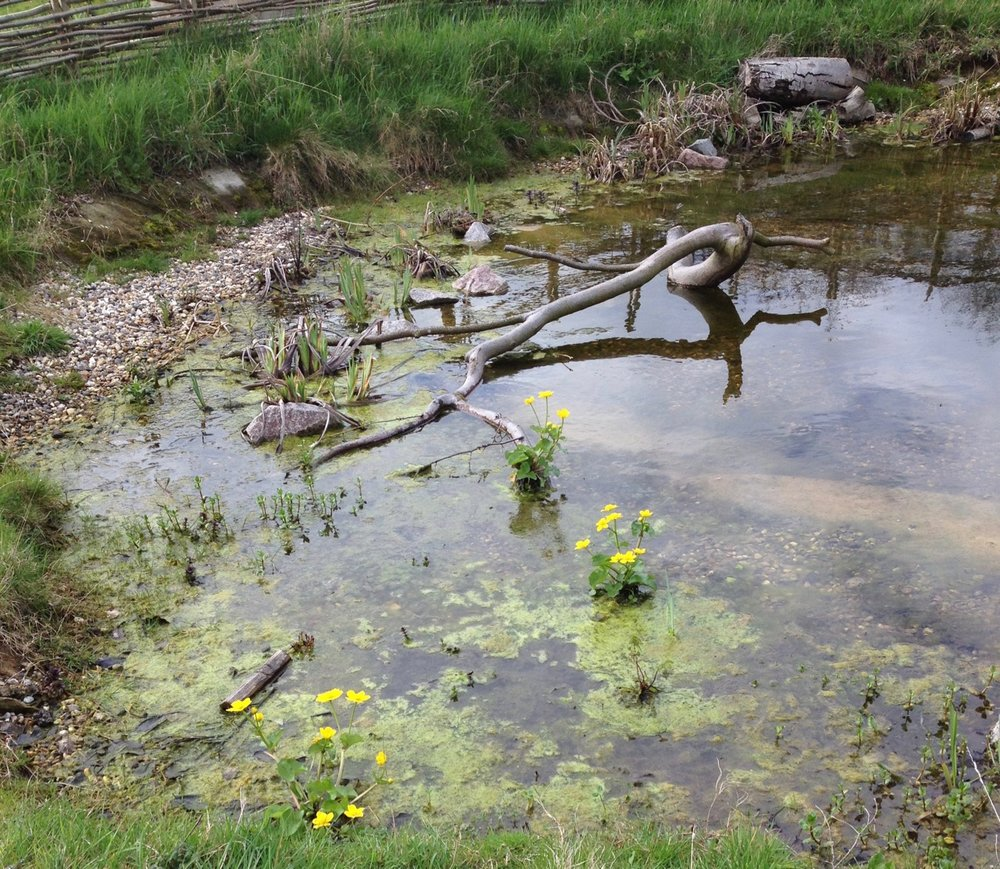 The newt is camera shy, but we have some pretty native pond flowers in bloom at the moment.