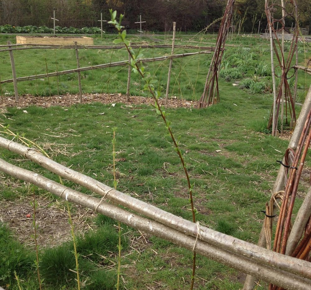 The living willow in the circle (aka 'Reggie's tent') is alive and starting to sprout leaves. Will be good to see it green and a bit less twiggy.
