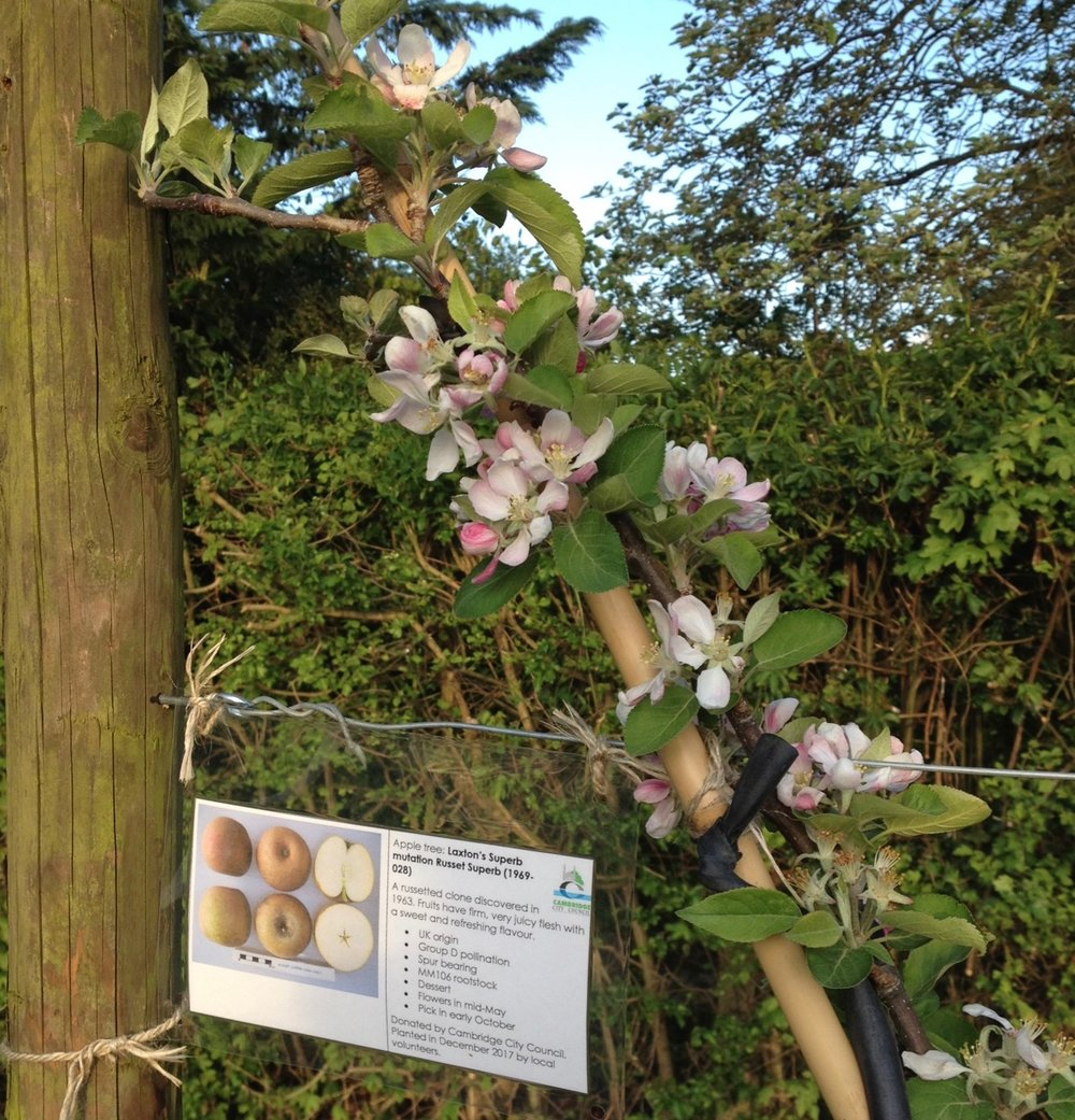 Really good to see the cordon apples coming into blossom.