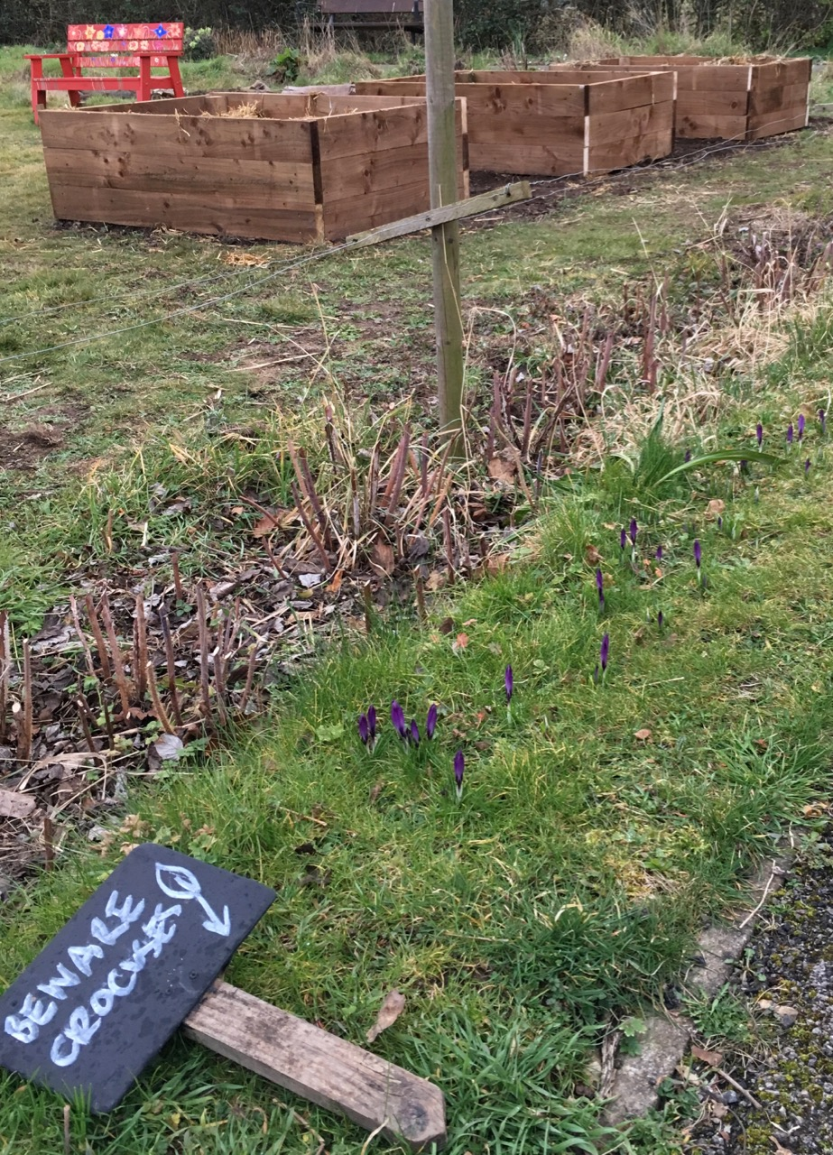 New raised beds. At the end of the day the crocuses close up… we put signs up to remind people not to walk on the grass edges to the green.