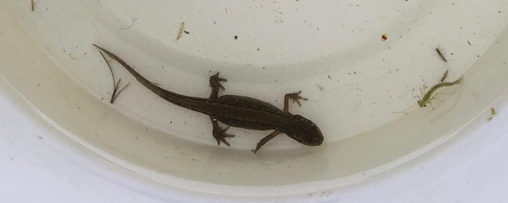 1 March 219: adult newt and damselfly larva.