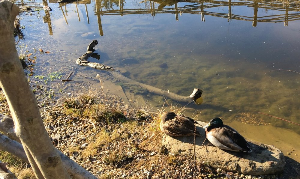 February 2019: Mallard ducks visit the pond at regular intervals - please don't feed them or they will dominate the wildlife of the pond (and eat it).