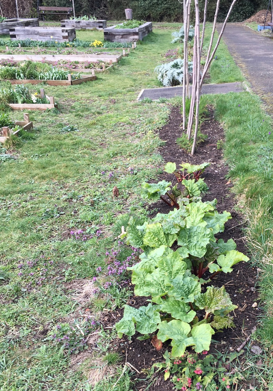 We are doing lots of cutting back and weeding at the moment - to give new growth, such as this rhubarb and fennel  more space.