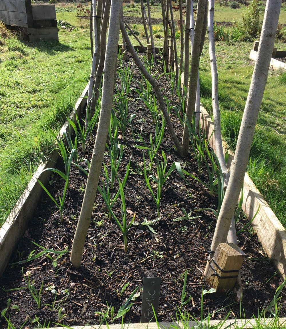 Justin's garlic is doing well in the runner bean bed. I can spot some thistles too!