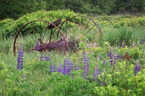 Lupines with Hay Rake