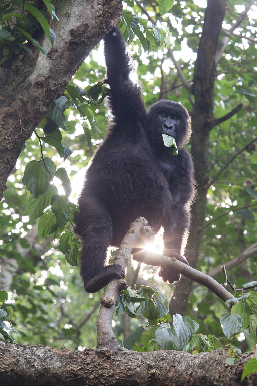 07.13.16_Virunga_BabyGorilla-6003.jpg