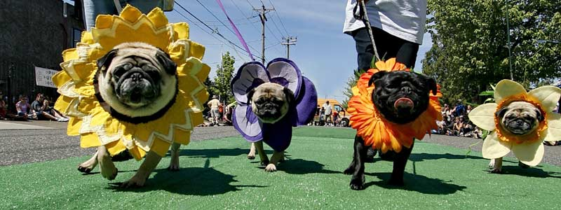 OHS Pug Crawl Photo- http://www.oregonhumane.org/get-involved/events/