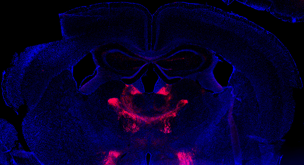 Saggital slice of a midbrain injected with a virus expressing a designer receptor (DREADD) marked in red.