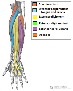 Muscles-in-the-Superficial-Layer-of-the-Posterior-Forearm-824x1024
